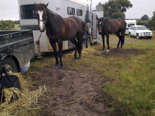 Irish_horse_eacape